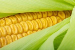 Mais, un made in Italy da salvare - Plantgest news sulle varietà di piante