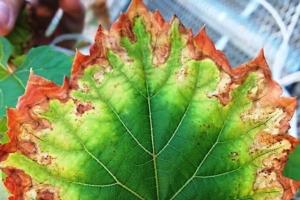 malattia-di-pierce-ucdavis-750x500.jpg