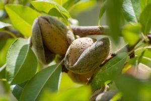 Mandorlo, made in Italy d'autore - Plantgest news sulle varietà di piante