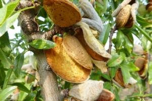 Puglia, raccolto di mandorle decimato dalle gelate di marzo - Plantgest news sulle varietà di piante