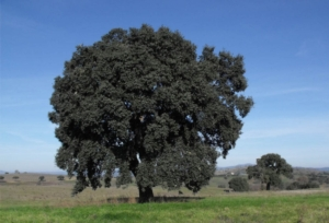 maremma-paesaggio-quercia-by-etrusko25-wikimedia