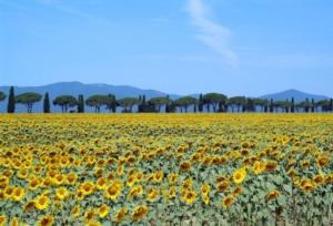 maremma-paesaggio-toscana-girasoli-by-giovanni-from-firenze-wikimedia-jpg