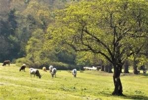 maremma-vacche-maremmane-by-albarubescens-wikimedia-jpg