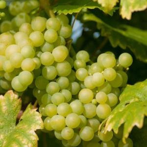 maturazione-uva-fertilizzanti-fonte-cifo