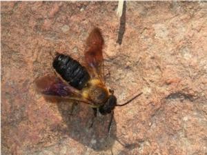 Megachile sculpturalis, segnalate l'ape aliena