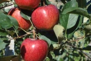 Melo e innovazione, insieme si vince! - Plantgest news sulle varietà di piante