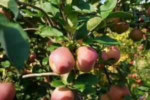Candine<sup>®</sup>, la mela dolcemente naturale - Plantgest news sulle varietà di piante