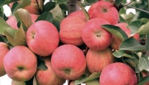 mele-albero-fonte-de-nora-next