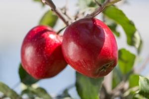 Melo: red carpet per la Gala - Plantgest news sulle varietà di piante