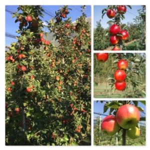 Melo, al via l'iniziativa del Civ - Plantgest news sulle varietà di piante