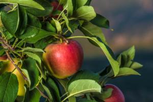 Kanzi<sup>®</sup>: raccolto 2020 di 23mila tonnellate, cresce il biologico - Plantgest news sulle varietà di piante