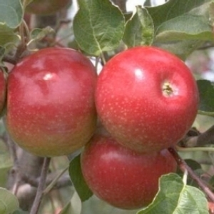 melo-abbondanza-rossa-fonte-crpv