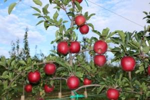 Geoplant a Interpoma per proporre le sue cultivar - Plantgest news sulle varietà di piante
