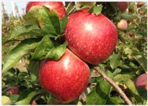 Nuovi cloni Fuji: una delizia di mele - Plantgest news sulle varietà di piante