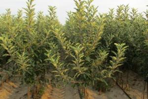 Le nuove frontiere dei portinnesti frutticoli - Plantgest news sulle varietà di piante
