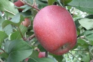 Melo, nuove varietà e nuove tecniche - Plantgest news sulle varietà di piante