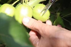 Come diradare il melo? - Plantgest news sulle varietà di piante