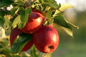 Il meleto? In Trentino è pedonabile e sostenibile - Plantgest news sulle varietà di piante