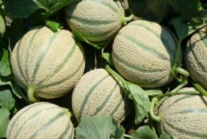 Celestial, il melone precoce targato Nunhems - Plantgest news sulle varietà di piante