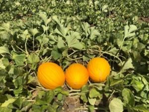 Rubial RZ, il melone gialletto di punta di Rijk Zwaan - Plantgest news sulle varietà di piante