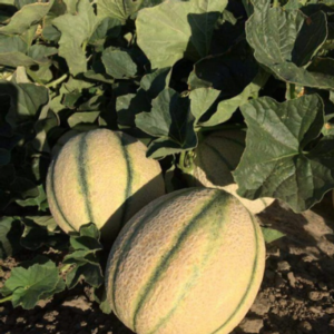 meloni-fonte-unimer