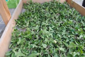 Erbe aromatiche, convegno Laimburg - Plantgest news sulle varietà di piante