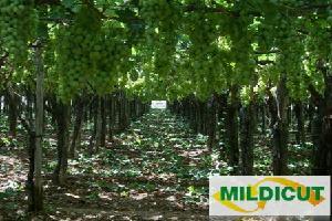 mildicut-belchim-antiperonosporico-uva-da-tavola-450