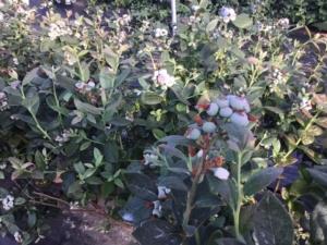 Mirtillo, sì alla coltivazione ma nel modo giusto - Plantgest news sulle varietà di piante