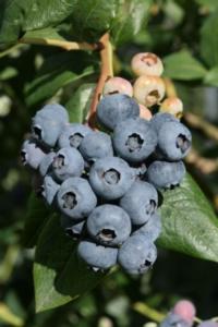 Al via European Blueberry 2018 - Plantgest news sulle varietà di piante