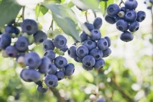 Mirtillo, da nicchia a prodotto di massa - Plantgest news sulle varietà di piante