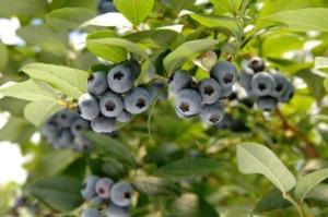 European Blueberry 2018, iscrizioni aperte - Plantgest news sulle varietà di piante