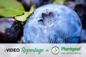 Mirtillo, opportunità per il futuro - Plantgest news sulle varietà di piante