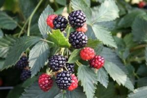 Rovo, Molari e Gatti rinnova le proprie varietà - Plantgest news sulle varietà di piante