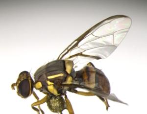 mosca-orientale-della-frutta19dic2018regionecampania