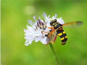 Api, vespe e mosche, come distinguerle