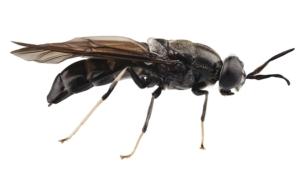 mosca-soldato-nera-secondo-art-apr-rosato-fonte-giuseppe-tresso-bef-biosystems