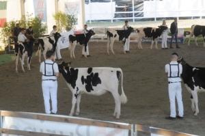 mostra-bovina-millenaria