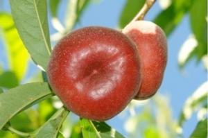 mostra-pomologica-cra-frutticoltura-21-luglio-2012