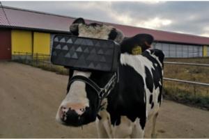 mucche-realta-virtuale-russia