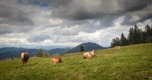 mucche-vacche-bovini-al-pascolo-by-dannywilde-fotolia-750