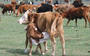mucche-vitello-fonte-nutreco-redazionale-modulazione-ruminale