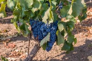 nero-d-avola-grappoli-vite-vitigno-uva-vitivinicoltura-by-manlio-70-adobe-stock-750x4991