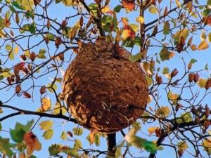 Vespa velutina, trovati nidi a La Spezia
