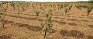 noccioleto-irrigazione-fonte-netafim-via-vivai-nicola-20210623