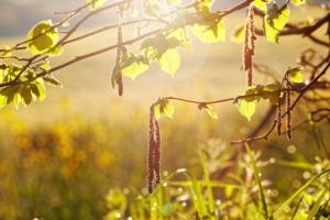 nocciolo-albero-ramo-nocciole-stu12-nocciolo-fotolia-750