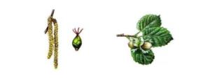 L'importanza degli impollinatori nel noccioleto - Plantgest news sulle varietà di piante