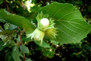 Progetto Nocciola Italia, firmato il primo accordo in Umbria - Plantgest news sulle varietà di piante