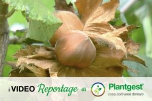 Nocciolo, coltivazione da reddito - Plantgest news sulle varietà di piante