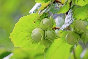 Nocciolo, una concreta opportunità - Plantgest news sulle varietà di piante