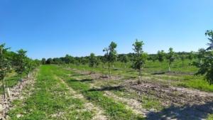 Il noce pecan cerca casa in Veneto - Plantgest news sulle varietà di piante
